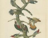 Woodpeckers, 1949 Vintage Bird Print, Audubon Bird Plate 15, Ornithology, Library Office Decor, Rustic Cabin Decor
