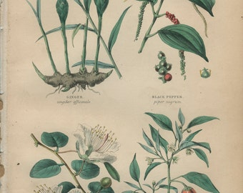 Ginger, Black Pepper, Caper, Cayenne, Antique Botanical Engraving 28: Spice Plants , Hand Colored, Kitchen Print Decor