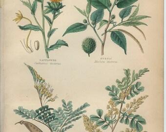 Safflower, Fustic, Dogwood, Brasilwood, Logwood, Plants for Dyeing, Antique Botanical Engraving 30: Hand Colored, Kitchen Print Decor