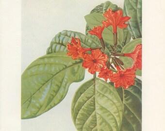 Scarlet Cordia, Mast Tree, Indian Jujube, Vintage Flower Book Plate 34,  1957, D. V. Cowen, Botanical Art, Nat History Print