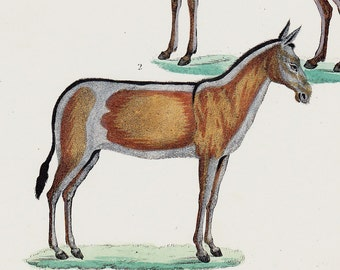 1854 Original Antique EQUINE print, wild donkey