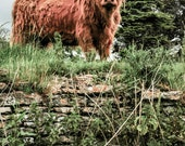 Highland Cattle 11 - Fine Art Photography - Cow - Nature Photography