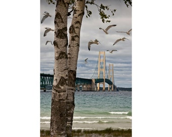 Gulls Flying by Birch Trees at the Bridge by the Straits of Mackinac between Lake Michigan and Lake Huron No.2479 A Bird Seascape Photograph
