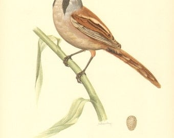 1953 Bearded Reedling, Bearded Tit or Bearded Parrotbill - Panurus biarmicus Vintage Offset Lithograph