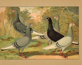 1910 Long-faced Tumbler Pigeons Original Antique Chromolithograph