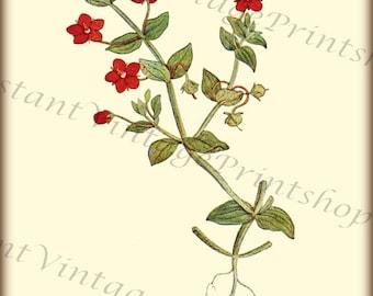 SCARLET PIMPERNEL Antique Botanical Reproduction digital download