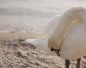 Italian Swan - Photography
