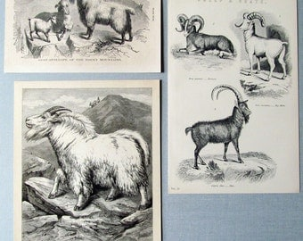 GOATS! 3 Antique Goat Prints/Wood Engravings and Lithograph c.1900: Different Types