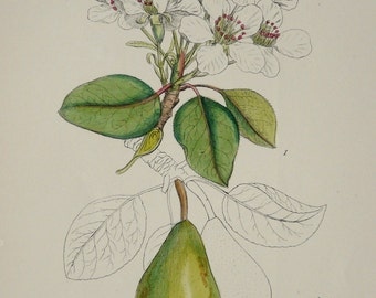 1873 Antique botanical print of a WILD PEAR: FLOWERS, fruit and leaves. 143 years old botanical print