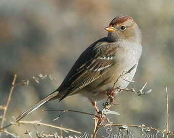 Brown Bird Photography, sparrow photo, rust & gray rustic wall art, nature decor, fine art print