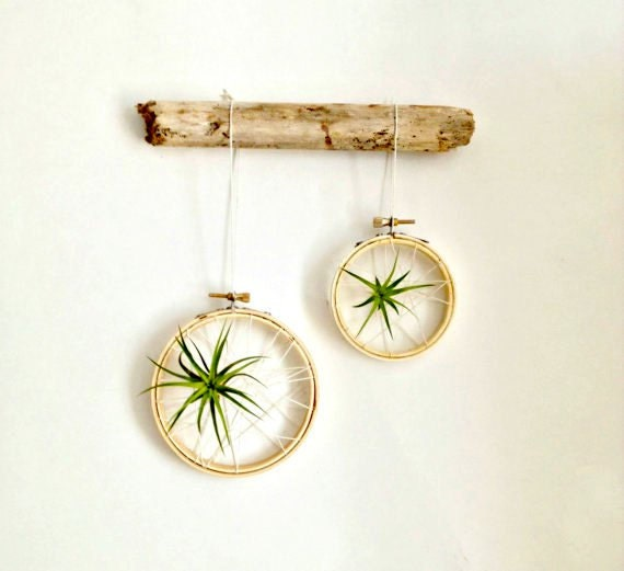 Caught in a web air plant on embroidery hoop with driftwood for Air plant decoration