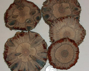 Banksia Nut Slice - 6 slices - Great for jewelry, coiling work, embellishment, coasters