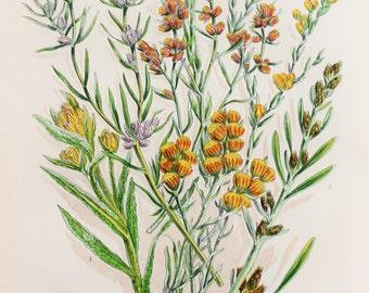 Anne Pratt Antique Botanical  Print - Cudweed, Filago (122)