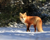 Red Fox at Sunset Forest Snowy Trail Winter Fresh Snow Woods Paper Print - Wildlife Photography