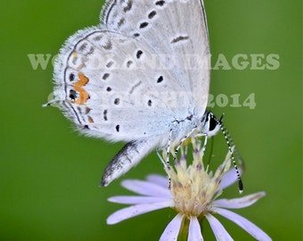 Gray Hairstreak butterfly print, Flying Flower, Insect print