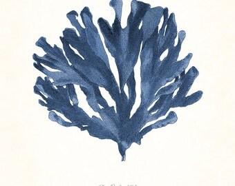 vintage indigo blue pacific sea kelp no 5 giclee art print nautical