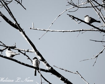 Black and White Bird Trio Fine Art Print