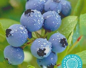 Blueberry Plant/Plant - 2 Yr, 2 Ft. Tall - Duke Highbush
