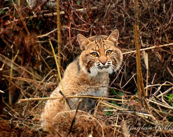 Bobcat Photography, Nature Photography, Wildlife Photography, Animal Photos, Cat Photography