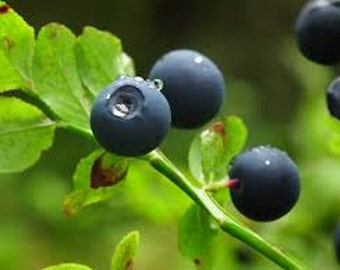Bilberry Seeds, Vaccinium myrtillus, Medicinal Herb Seeds, Whortleberry, Perennial, Blaeberry, Used For Teas