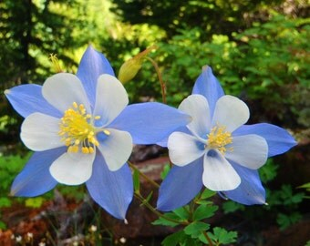 Rocky Mountain Columbine - Aquilegia caerulea (100 seeds)