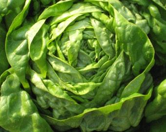 Buttercrunch Lettuce - 100 seeds (Organic/non-GMO)