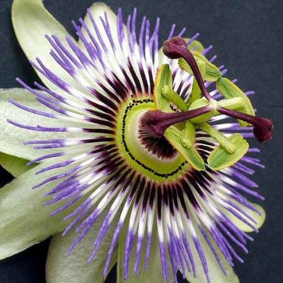 passiflora caerulea 25 seeds blue passion flower. Black Bedroom Furniture Sets. Home Design Ideas