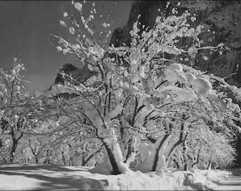 Trees with snow on branches half dome apple orchard for Ansel adams mural project posters