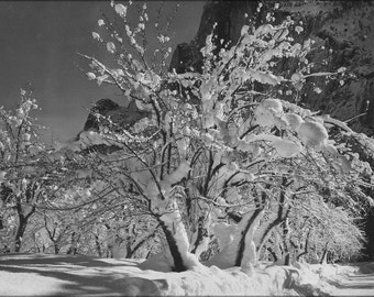 Trees with snow on branches half dome apple orchard for Ansel adams mural project 1941 to 1942