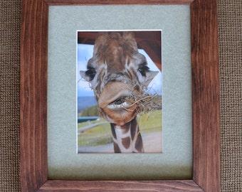 A munching giraffe