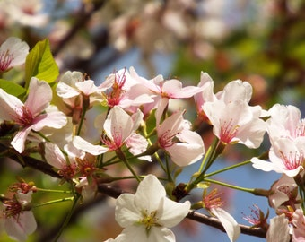 """Nature Photography - Cherry Blossom 8x10"""""""