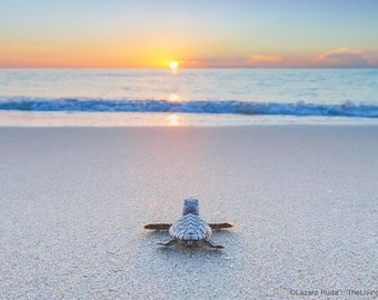 Baby Sea Turtle On The Beach Fine Art Photograph Print