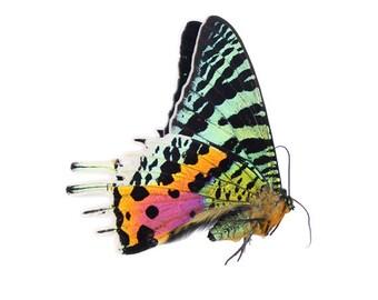 Sunset Moth (Urania ripheus) Female Specimen