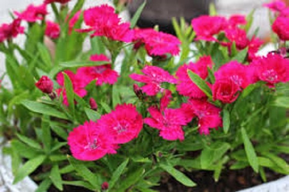 Dianthus deltoides zing rose maiden pink ground cover for Pink flower perennial ground cover