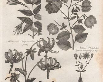 Fuchsia, Bougainville, Centaury botanical engraving c1800