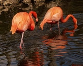 Flamingos from Florida