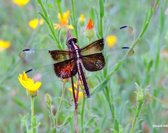 Dragon Fly in Yellow and Orange Flowers - Fine Art Photography, Nature Decor, Home Decor, Wall Prints
