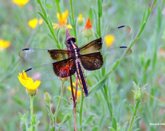 Dragon Fly in Yellow and Orange Flowers,FREE SHIPPING-United States, Fine Art Photography, Nature Decor, Home Decor, Wall Prints