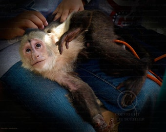 Photo: Capuchin Monkey 2, Looking Up, Nature photography, Animal Photo, Wall Decor photo, Fine Art Photography Print [brn]
