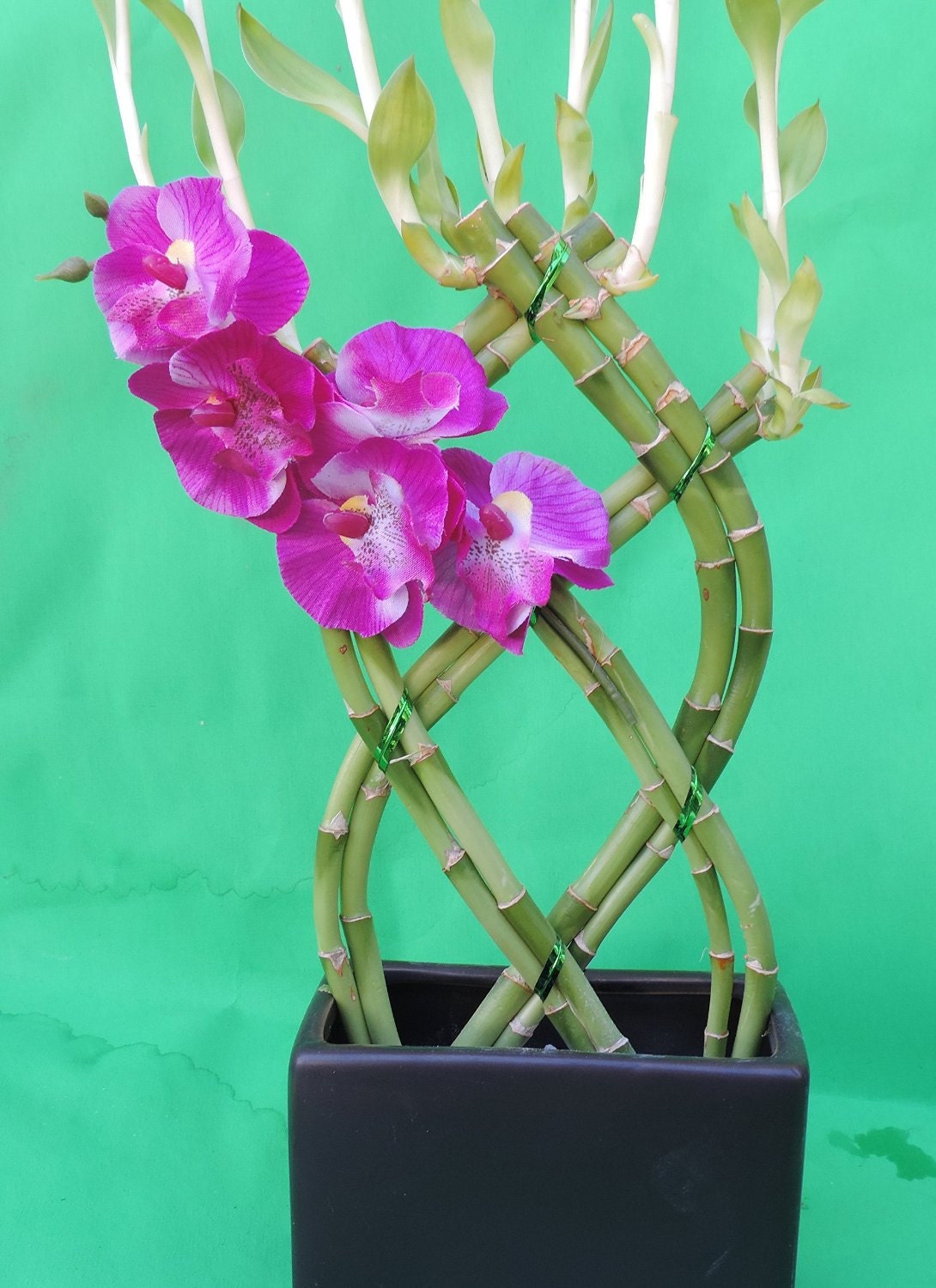 Lucky Bamboo 8 Stalks Braided 10 Inches Tall And 3