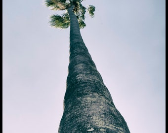 Palm tree, Ashfield, Sydney, Australia