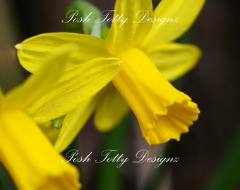 Photography by Posh Totty Designz The Daffodil Print 5x4 inches (08)