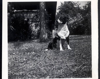 vintage photo 1946 Snapshot Vintage Photo Black and White Dog Wears Scarf Tie