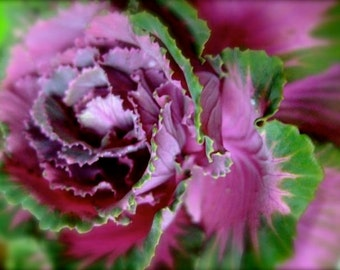 "Purple Cabbage - 4"" x 3"" Fine Art GicléePrint"