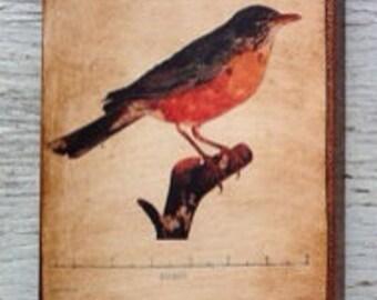 Vintage Bird Robin  Specimen 1904 -  Small Wall Art
