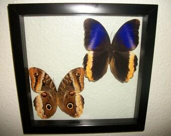 Vibrant Owl Butterflies