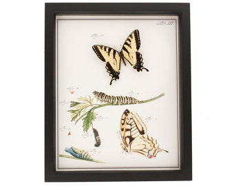 Old Insect Print with Real Tiger Swallowtail Butterfly Display