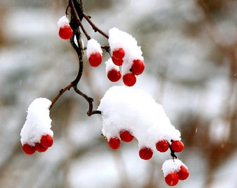 Winter Berries, Red, White Snow, Holiday Art, Christmas Decor, Nature Photography, 8X10 Mat