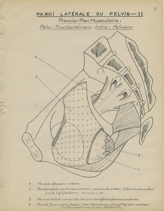 human anatomy print 1947 pelvis wall muscles vintage medical. Black Bedroom Furniture Sets. Home Design Ideas