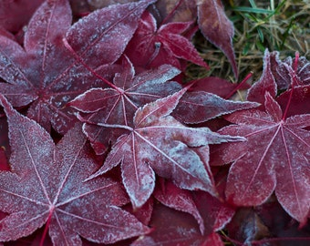 Frosted leaves photograph, fall's delicate touch , frost, red leaves, cold fall morning,  nature, photography, fine art photograph